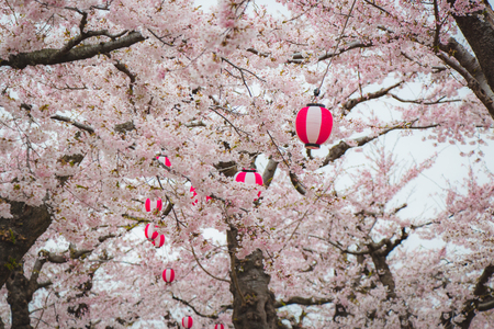 Red and white lanterns on cherry blossom trees in Hanami festival of Japan