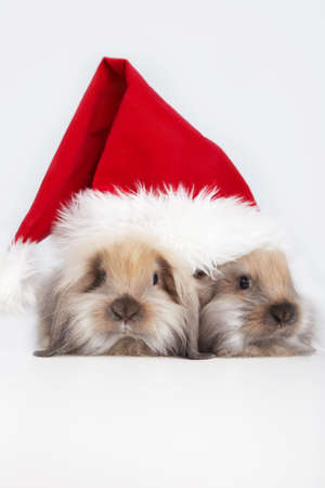 Two rabbits in the hat of Santa Claus on a white background photo
