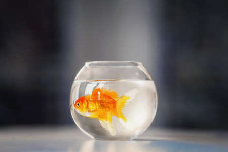 Goldfish in glass aquarium