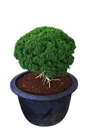 dwarfish: Dwarf Trees Stock Photo