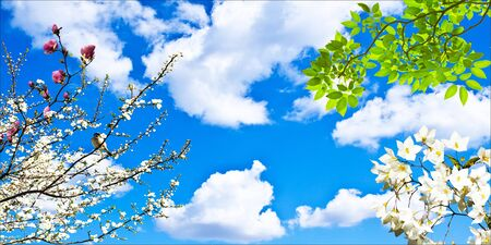 Almond tree blooming white flowers in spring, blue sky background