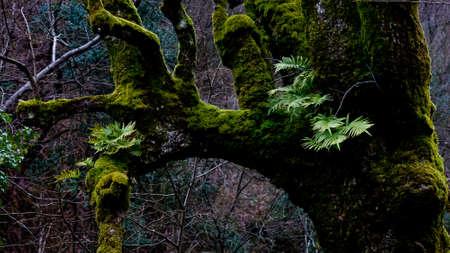 mossy: mossy tree