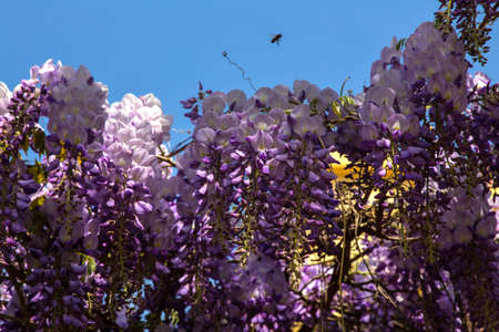 Bee flying over purple panicles