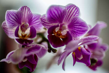 Moon orchid Stock Photo