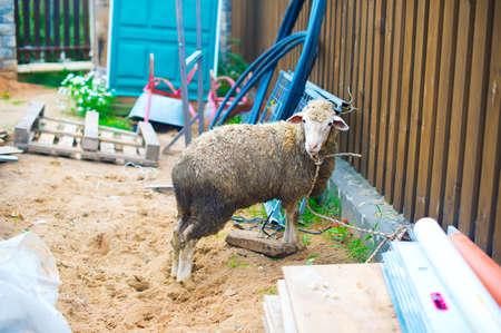 Sheep ready for muslim religion holiday Eid al-adha Stock Photo