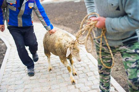 religion ritual: Men ready to kill ritual sheep for muslim religion holiday Eid al-adha