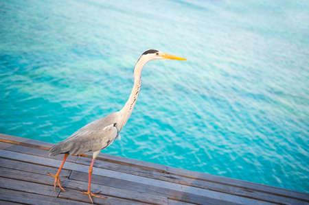 Beautiful white heron walking near the ocean ready to fishing