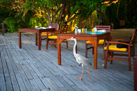 Smart and beautiful white heron try to steal food from plates at the table of hotel