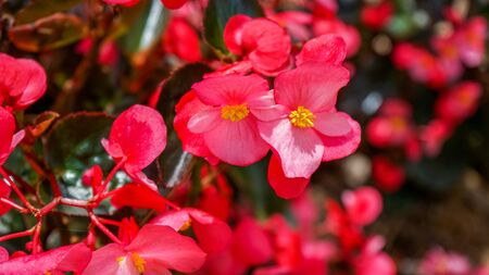 Full frame of red flowers in a flower garden Imagens