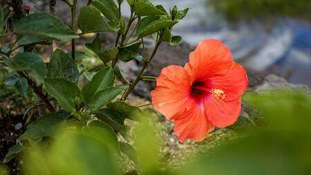 Close up of hibiscus flowers in a flower garden Zdjęcie Seryjne