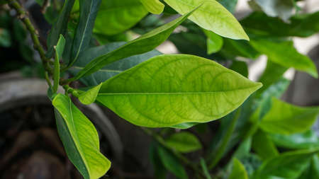 Close up of jackfruit leaves