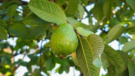 Close up guava fruit on the tree