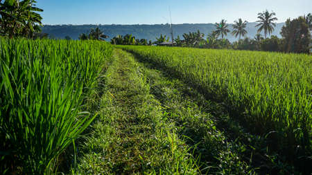Morning view of rice fields