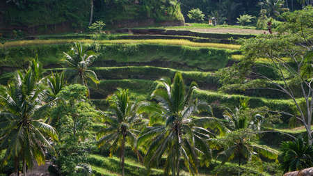 View of the terraced rice fields and coconut trees in Bali Фото со стока