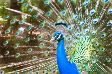 sumptuousness: Peacock in the garden