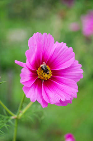 Bee on pink flower Stock Photo - 16401850