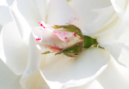 young rose on the white petals photo