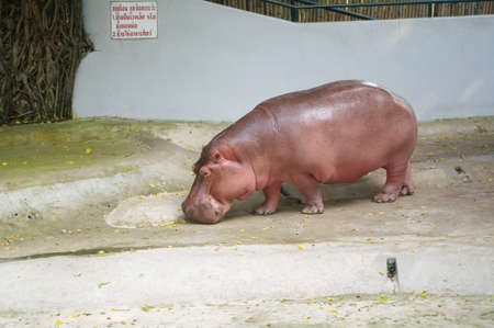 Hippo in the zoo photo