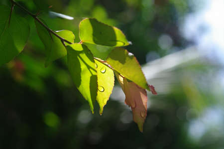 touched: young leafs touched by sunligh