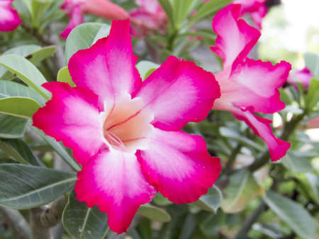Adenium obesum, Desert Rose, Impala Lily, Mock Azalea photo