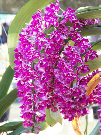Rhynchostylis gigantea photo