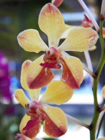 vanda: Vanda denisoniana orchid Stock Photo