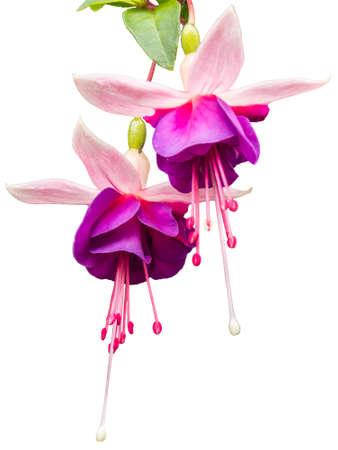 myrtales: Fuchsia flower