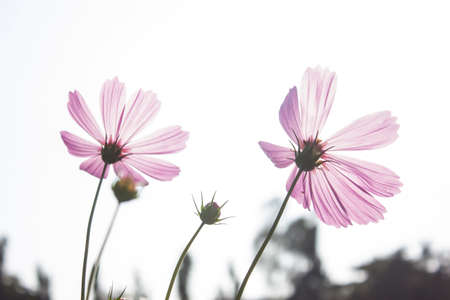 by shot: cosmos flower , silhouette shot Stock Photo