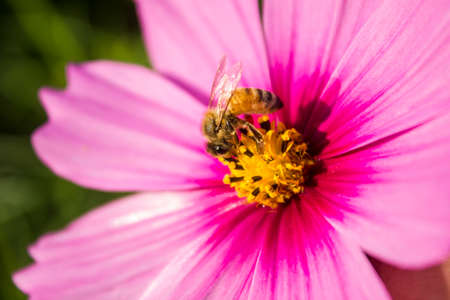 bee on cosmos flower photo