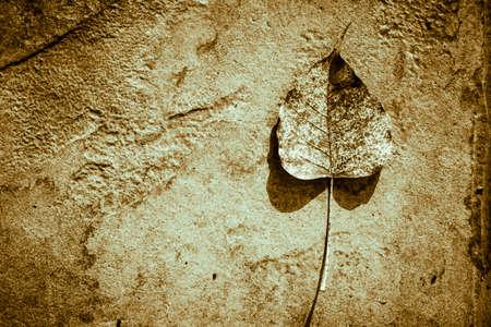 fig leaf: Sacred fig leaf on stone
