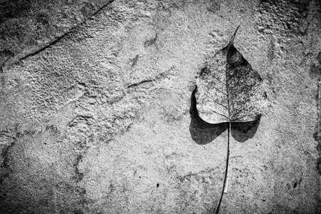 pipal: Sacred fig leaf on stone