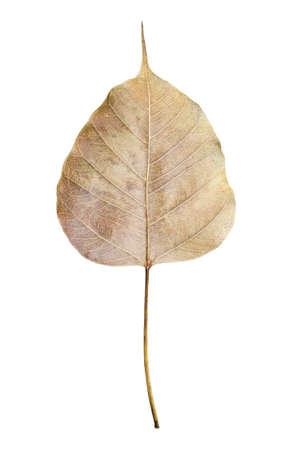 fig leaf: dried sacred fig leaf isolated on white