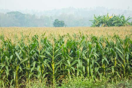 field crop: cornfield