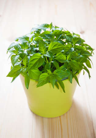 capsicum plant: Green plant - hot capsicum a in ceramic pot on wooden boards in the sunlight Stock Photo