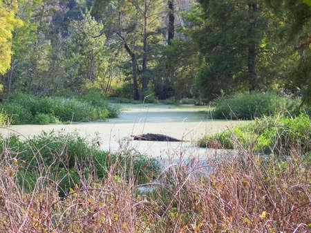 Swamp Gator Stock Photo