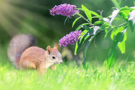 Funny red squirrel and lilac delicate flowers in the summer garden. Banque d'images