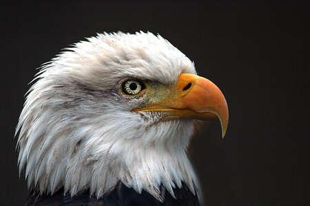 calvo: Perfil de la cabeza de un águila calva estadounidense del aislado sobre fondo oscuro.