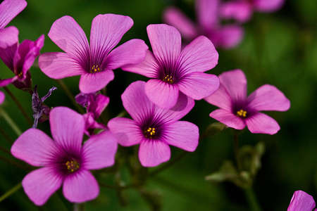 Group of five bright pink oxalis blooms on blurred green background Stock Photo - 7476656