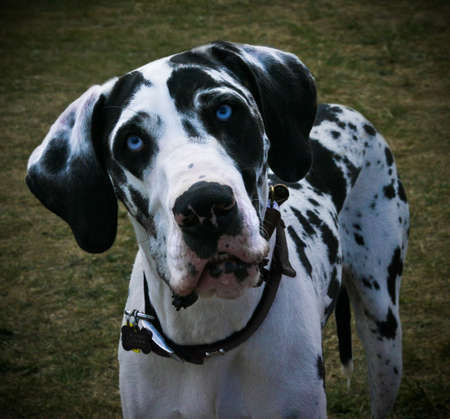 great: Photo of the face of a blue-eyed, black and white spotted Great Dane looking inquisitively directly at into the camera