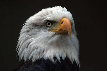 Closeup of an American Bald Eagle's head on a black background