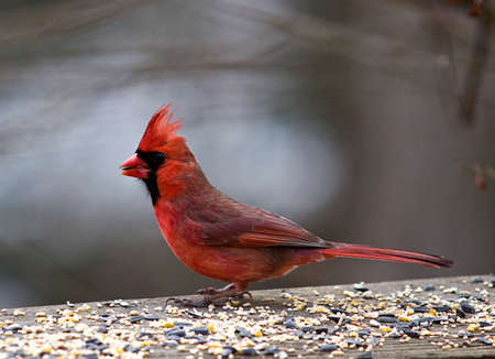 Image of red male Cardinal perched on a platform and surrounded by bird seed with a burred background