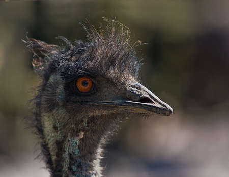 Closeup of the head of an Emu on blurred natural background.