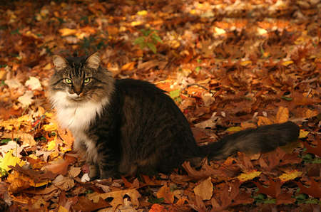a beautiful cat sitting among colorful fallen leaves