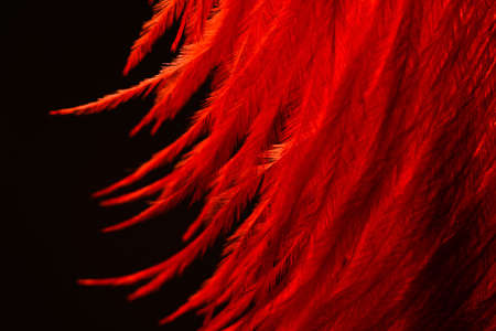 Macro shot of soft, fluffy red feather isolated on a black background
