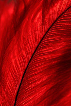 Macro image of a backlit, bright red feather curling diagonally across frame