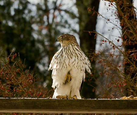 Detailed shot of a young Cooper's Hawk perched on platform standing on one leg