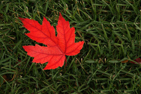 Single red maple leaf on a green grass background. 写真素材