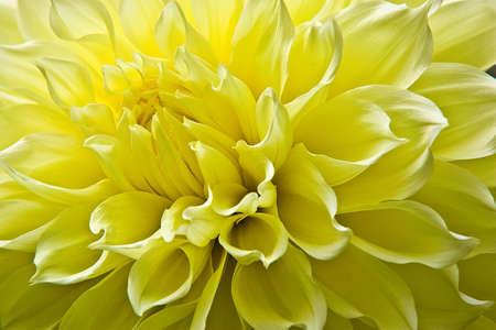 Detailed, closeup macro shot of the center of a bright yellow dinnerplate dahlia with soft, white borders at the edge of the petals.
