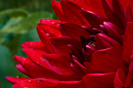 Closeup macro shot of beautiful, bright, rich red dahlia bloom with sparkling raindrops on blurred green background