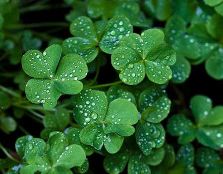 oxalis: Macro image of raindrops on the leaves of the oxalis (shamrock) plant